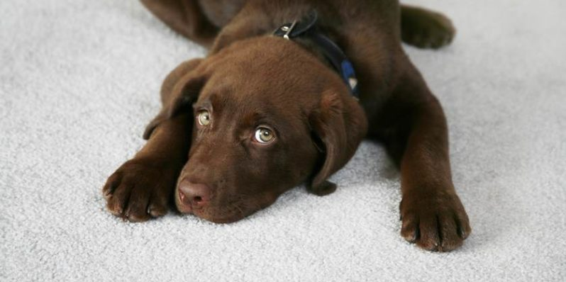 Best Carpet Cleaning Tips For Pet Owners